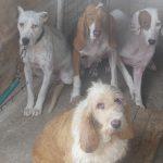 Galgos del Sur denuncia la lamentable situación en la que malviven los perros de caza de las rehalas